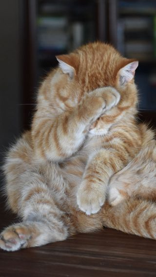Cat Redhead Striped Funny Posture Shame Ashamed funny